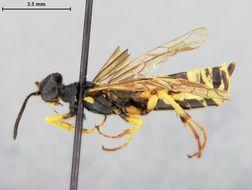 Image of <i>Cephus graenicheri</i> Ashmead