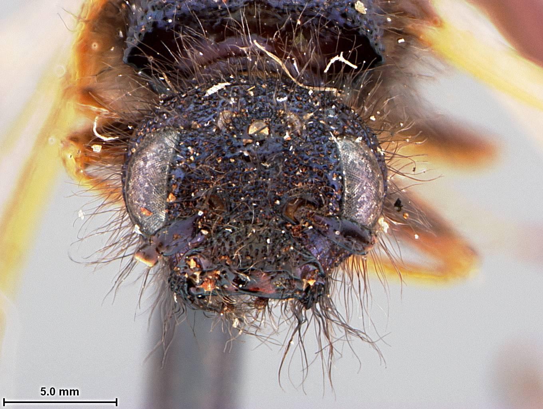 Image of <i>Paururus pinicola</i> Ashmead