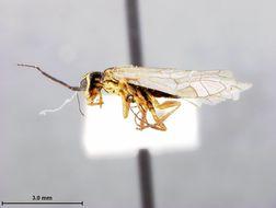 Image of <i>Xyela lunata</i> Burdick