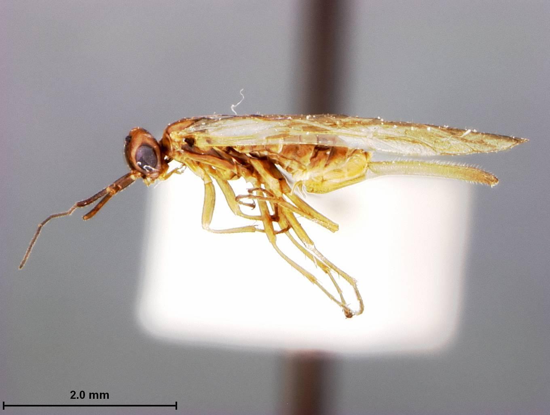 Image of <i>Xyela radiatae</i> Burdick