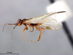 Image of <i>Xyela serrata</i> Burdick