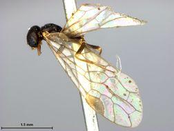 Image of <i>Xyela negundinis</i> Cockerell