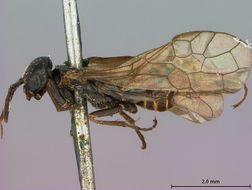 Image of <i>Pleroneura schwarzi</i> Rohwer