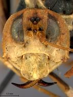 Image of <i>Leptocimbex grahami</i> Malaise