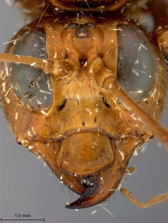 Image of <i>Leptocimbex rufoniger</i> Malaise