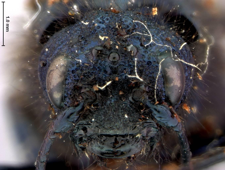 Image of <i>Paururus hopkinsi</i> Ashmead
