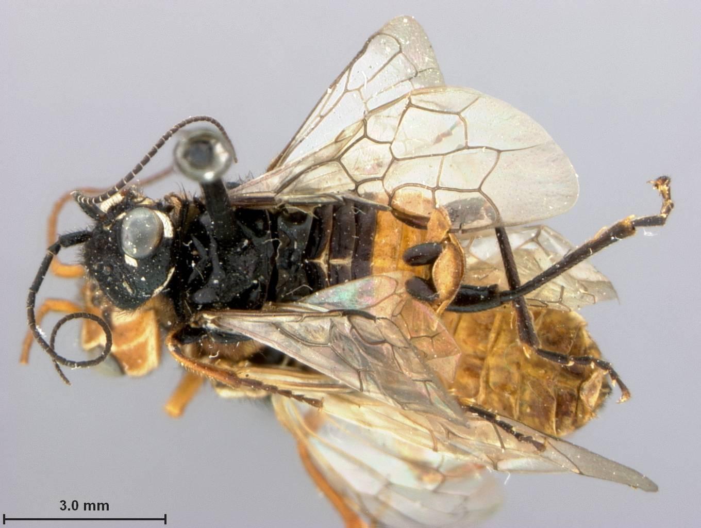 Image of <i>Acantholyda burkei</i> Middlekauff