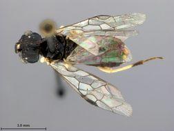 Image of <i>Neurotoma nigra</i> Middlekauff
