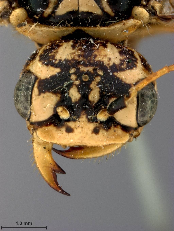 Image of <i>Acantholyda thalictra</i> Middlekauff