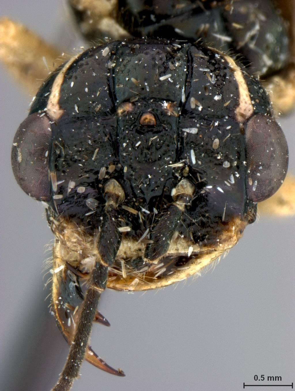 Image of <i>Pamphilius uniunguis</i> Middlekauff