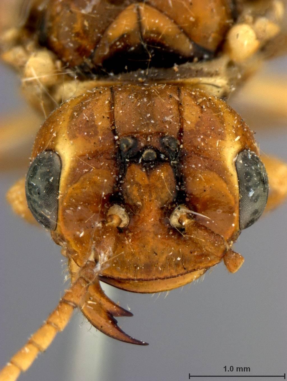 Image of <i>Pamphilius vernalis</i> Middlekauff