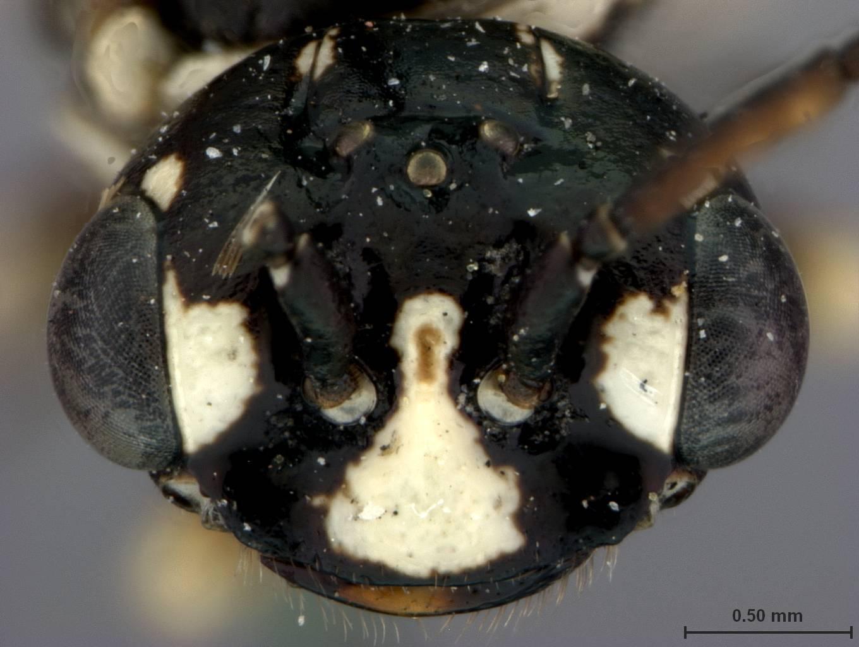 Image of <i>Neurotoma willi</i> Middlekauff