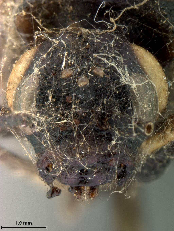 Image of <i>Sirex antennatus</i> Marlatt