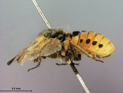 Image of <i>Cimbex maculata</i> Marlatt