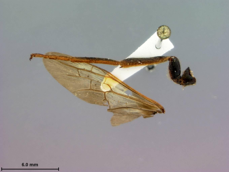 Image of <i>Tremex similis</i> Marlatt