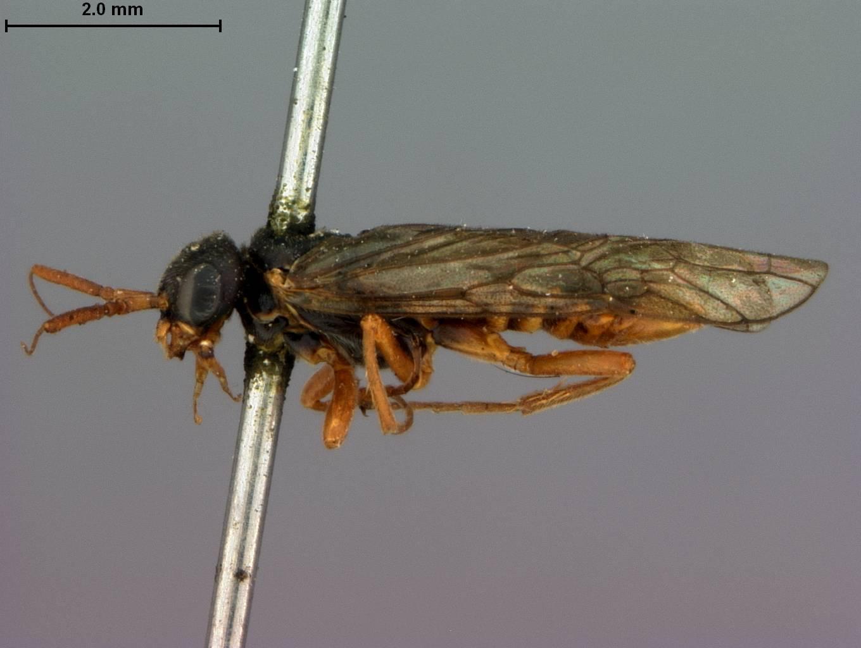 Image of <i>Pleroneura fulvicornis</i> Rohwer