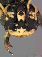Image of <i>Pamphilius fulvifrons</i> Rohwer