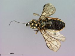Image of <i>Itycorsia kincaidi</i> Rohwer