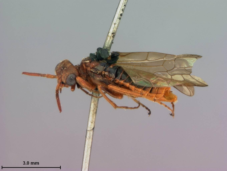 Image of <i>Pleroneura koebelei</i> Rohwer