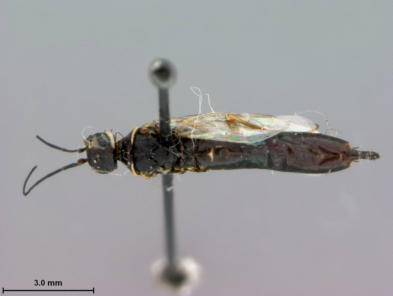 Image of <i>Syntexis libocedrii</i> Rohwer 1915