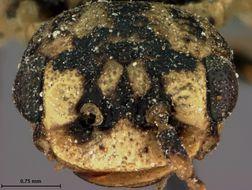 Image of <i>Itycorsia nivea</i> Rohwer