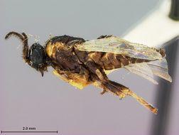 Image of <i>Schizocerus sericeformis</i> Rohwer