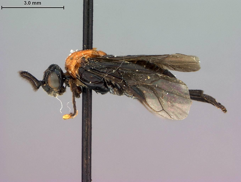 Image of <i>Neoptilia tora</i> Smith