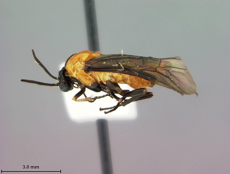Image of <i>Sphacophilus hamus</i> Smith