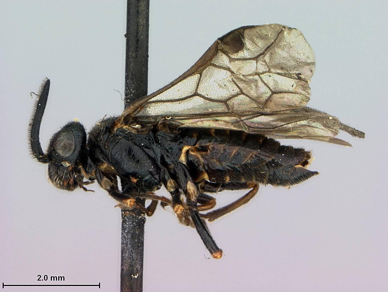Image of <i>Aprosthema breviantennatum</i> Smith