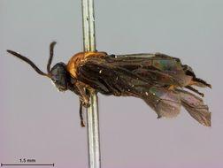Image of <i>Atomacera tria</i> Smith