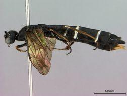 Image of <i>Hartigia riesi</i> Smith