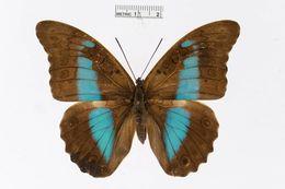 Image of <i>Prepona pylene</i> Hewitson 1853