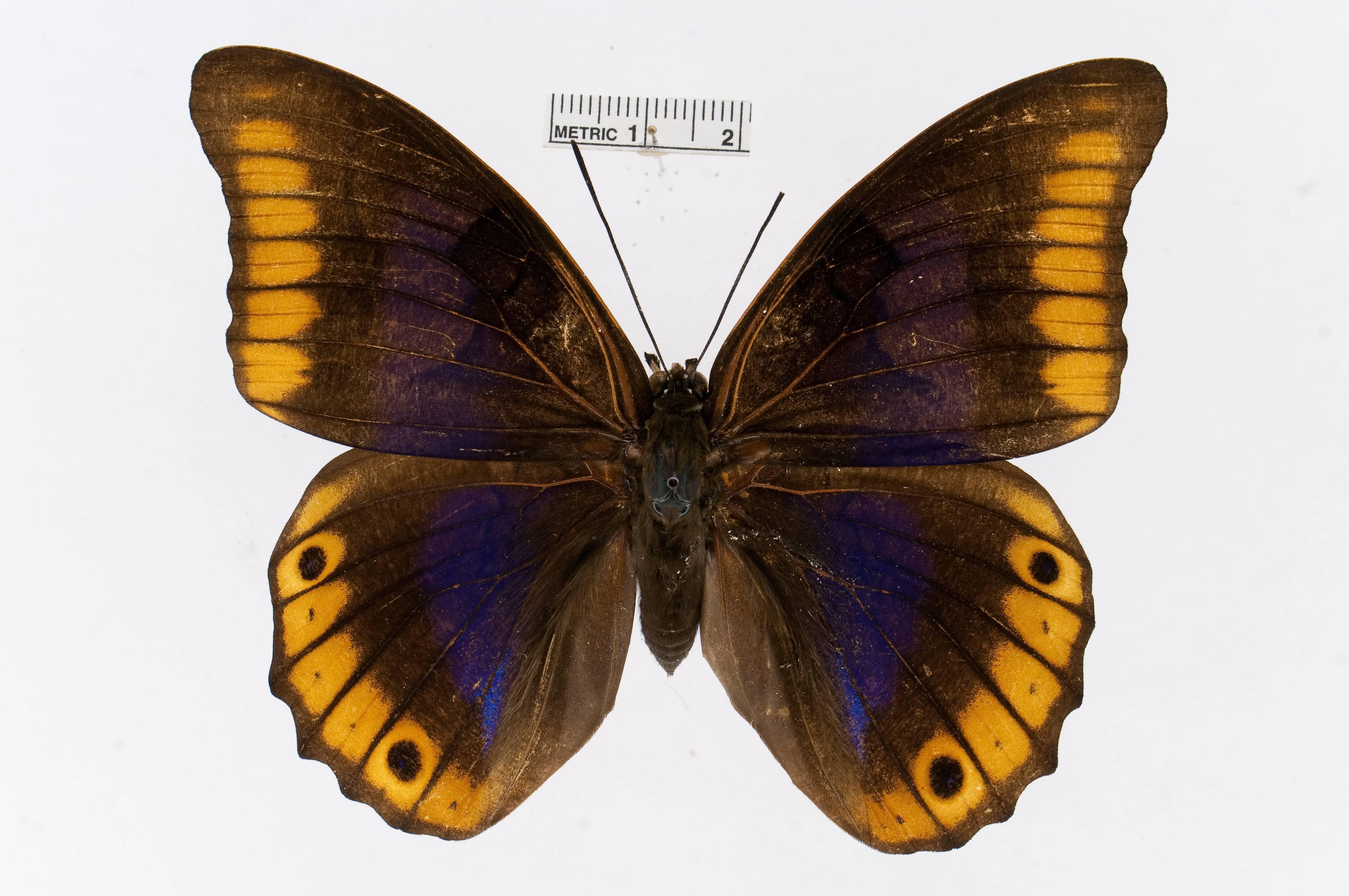 Image of <i>Prepona deiphile</i> Godart 1824