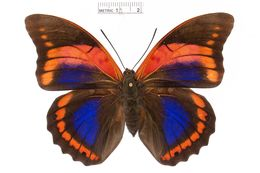 Image of <i>Prepona praeneste</i> Hewitson 1859