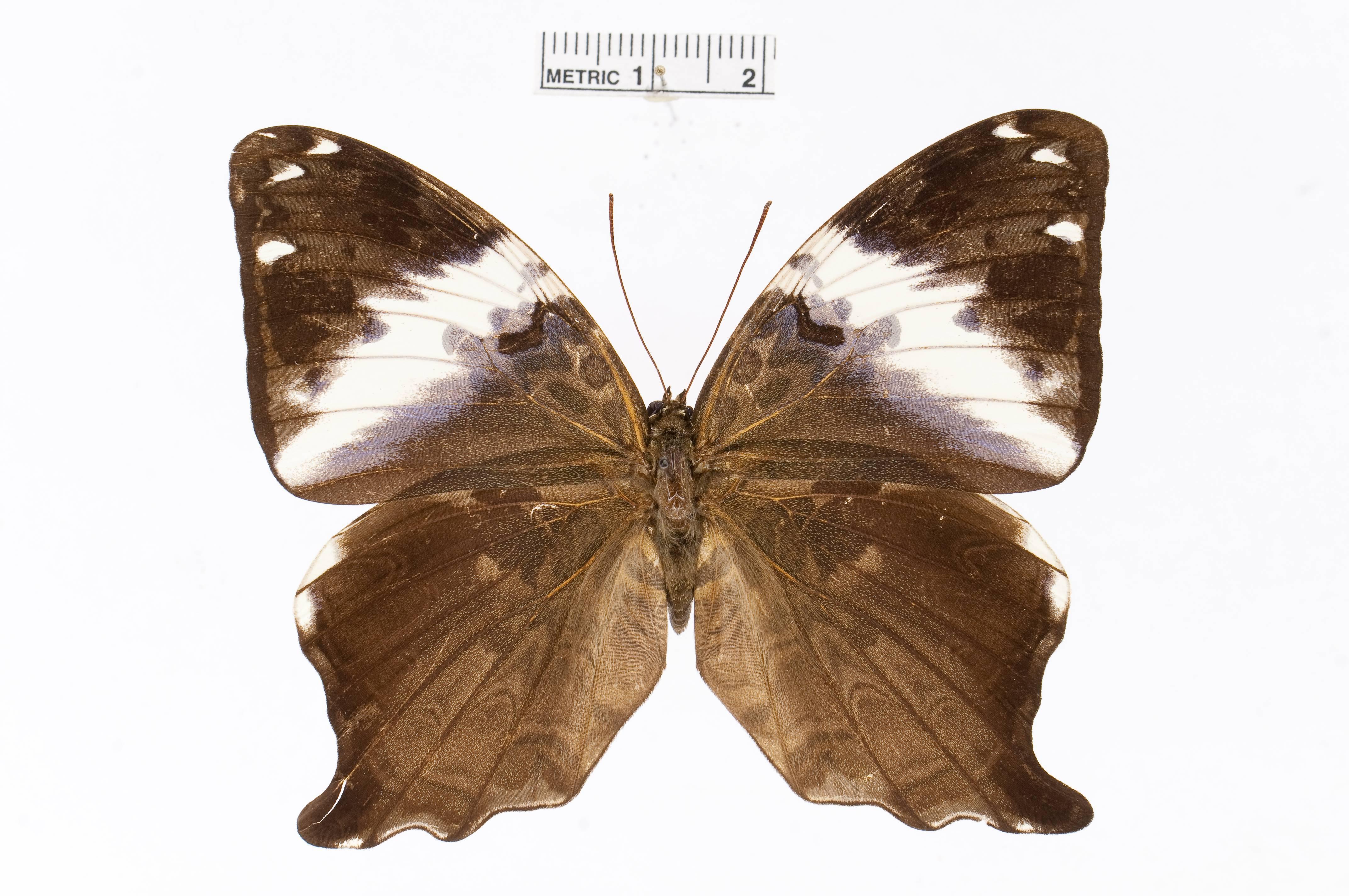 Image of <i>Prothoe franck</i> Godart 1823