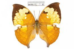 Image of <i>Zaretis itys</i> Cramer 1777