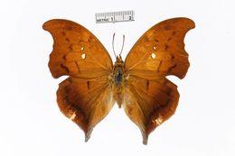 Image of <i>Zaretis syene</i> Hewitson 1856