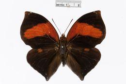 Image of <i>Siderone syntyche</i> Hewitson 1853