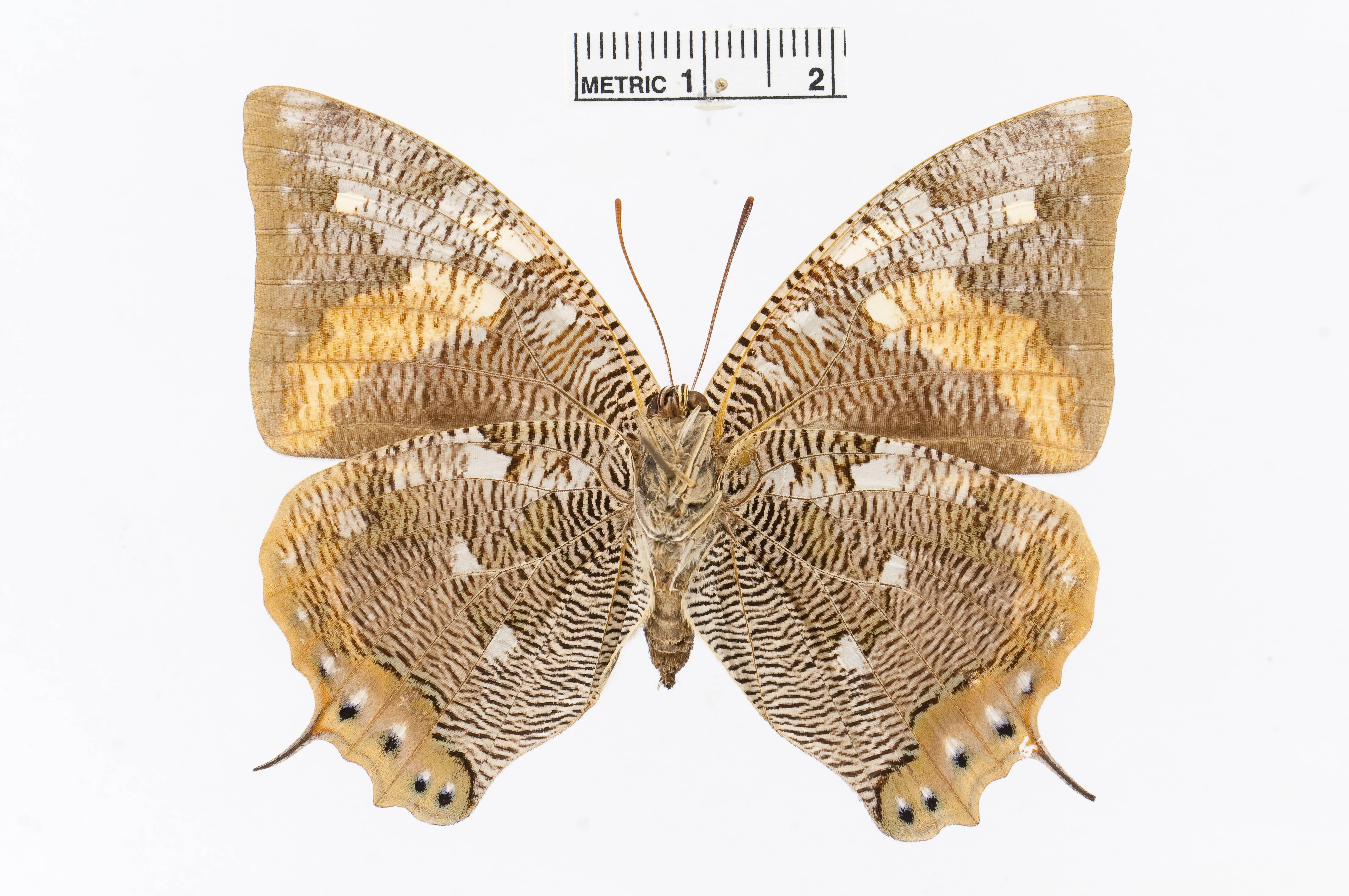 Image of <i>Polygrapha cyanea</i> Salvin & Godman 1868