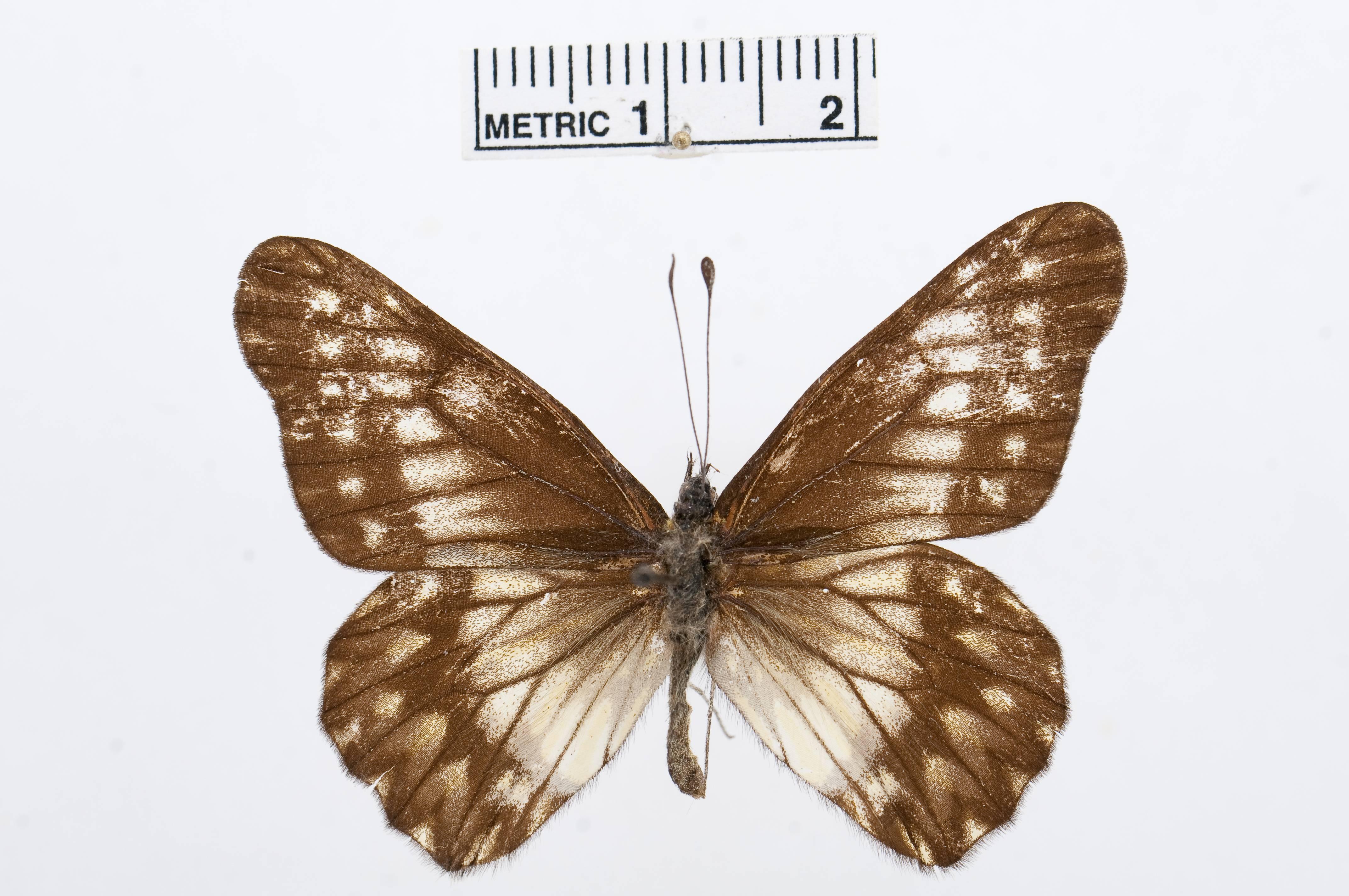 Image of <i>Catasticta affinis</i> Röber 1909