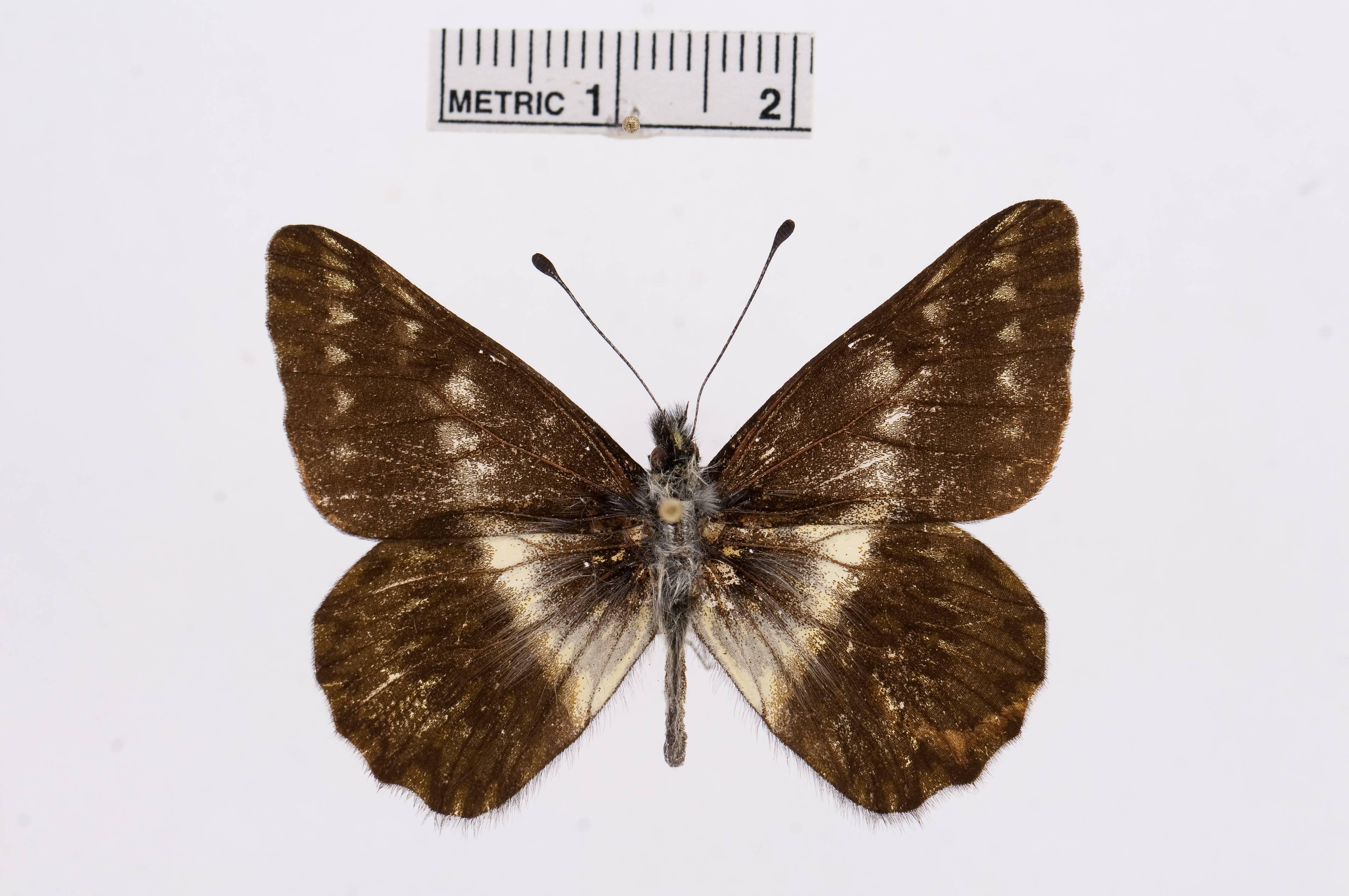 Image of <i>Catasticta amastris</i> (Hewitson 1874)