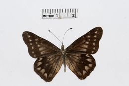 Image of <i>Catasticta distincta</i> Lathy & Rosenberg 1912