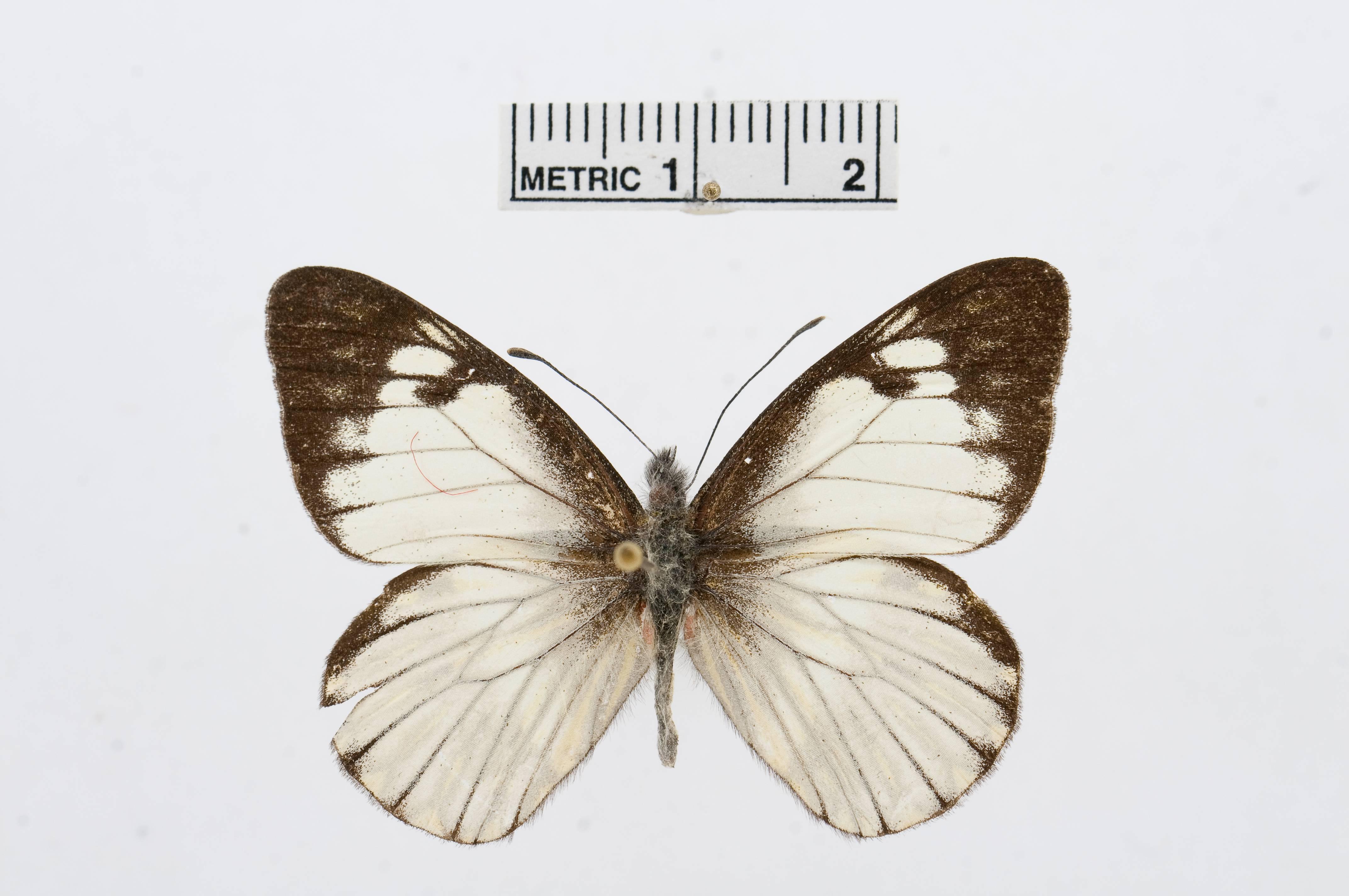 Image of <i>Catasticta notha</i> (Doubleday 1847)