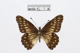 Image of <i>Catasticta philone</i> (Felder & Felder 1865)