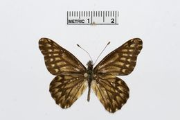 Image of <i>Catasticta philoscia</i> (Felder & Felder 1861)