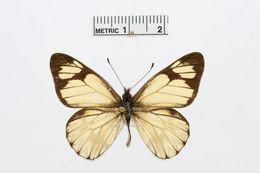 Image of <i>Catasticta pieris</i> (Hopffer 1874)