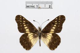Image of <i>Catasticta scaeva</i> Röber 1909