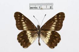 Image of <i>Catasticta sinapina</i> Butler 1896