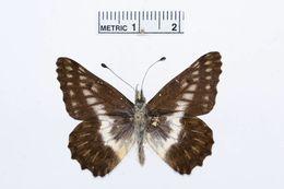 Image of <i>Catasticta striata</i> (Eitschberger & Racheli 1998)