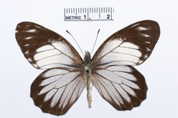 Image of <i>Catasticta teutamis</i> Hewitson 1860